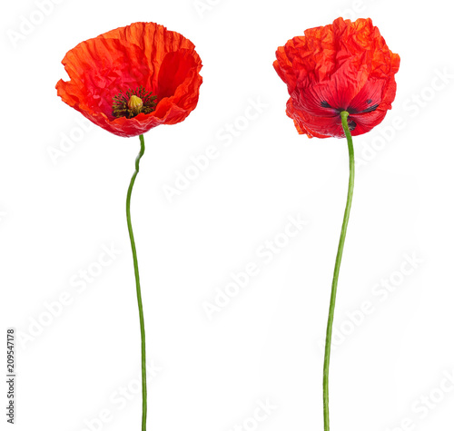 Wild red poppies in a row isolated on white background Canvas Print