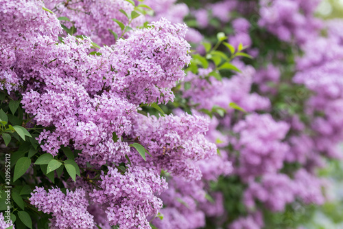 Foto op Canvas Lilac Purple flowers growing on lilac blooming shrub in park.