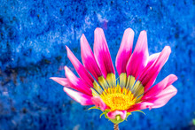 A Bight Pink And Purple Gazania Flower With A Deep Cobalt Blue Pot In The Background.