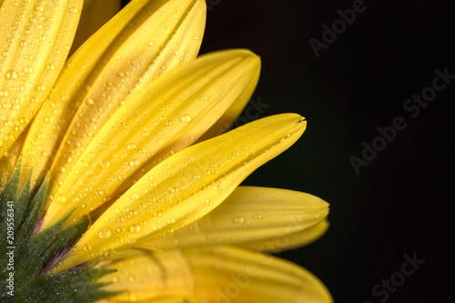Poster Bloemen siyah arka planda sarı çiçek