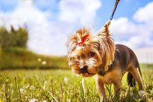 Little Dog Walks In The Park. A Portrait Of A Yorkshire Terrier