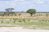 Giraffe im Etosha