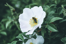Bee Pollinates White Hips Flow...