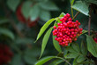 canvas print picture - Sambucus racemosa / Roter Holunder / red elderberry