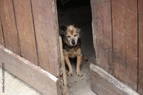 Láminas  petit vieux chien qui monte la garde