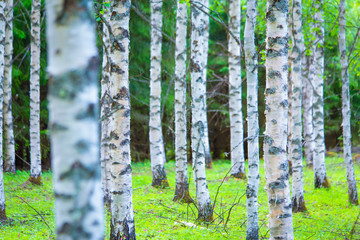 Widok lasu brzozowego lato z Sotkamo, Finlandia.