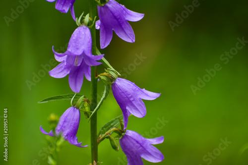 Blooming blue Creeping bellflower or rampion bellflower (Campanula rapunculoides) in the field (garden) Canvas Print