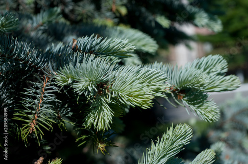Garden Poster Roe blue spruce close-up
