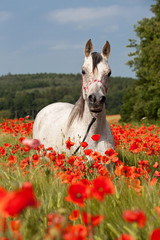 Obraz na Szkle Zwierzęta Portrait of nice arabian horse in red poppy field