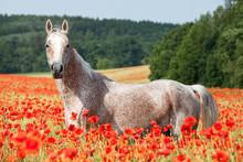 Portrait Of Nice Arabian Horse In Red Poppy Field