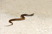 Broad-banded Water Snake Crossing A Sandy Path After Rain
