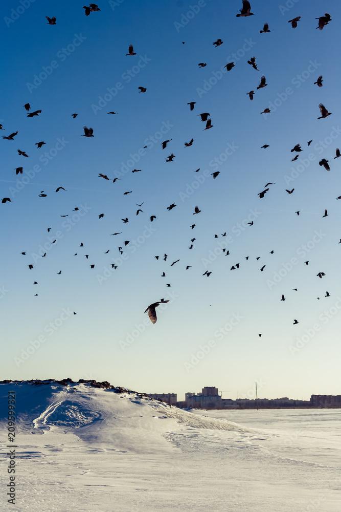Huge crows flock persecution a Northern Goshawk