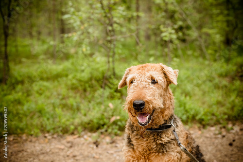 Photo One sitting Black brown Airedale Terrier dog isolated on nature forest background