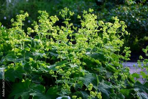 Fotomural Alchemilla mollis  or lady's mantle in the garden close-up.