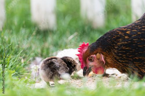 La pose en embrasure Poules Une poule dans un jardin et ses poussins