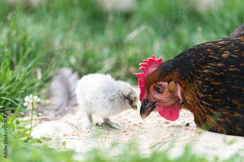 La pose en embrasure Poules Une poule dans un jardin