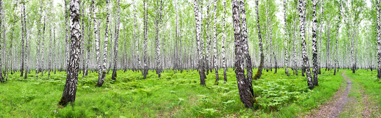 Fototapetapanorama summer landscape with birch forest