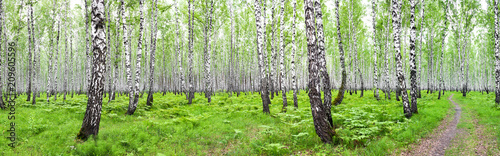 panorama summer landscape with birch forest