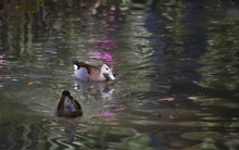 Ringed Teal Duck Drakes
