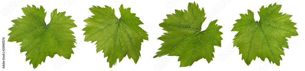 Fototapeta grape leaf isolated on white background