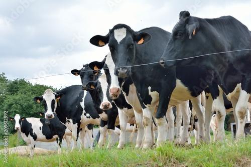 Papiers peints Vache Vaches laitières