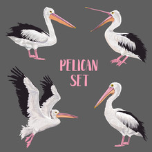 Pelican Birds Set. Animals In The Wild. Wildlife Seabirds. Watercolor Waterbird. Vector Illustration