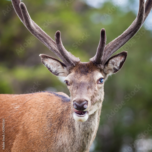 Keuken foto achterwand Hert Stag Close Up. A close up picture of a red deer stag in the Scottish highlands.