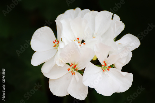 White geranium flower in a home garden against a dark black background. Emtpy copy space for Editor's text.