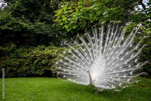 Foto op Aluminium Pauw Close up white peacock showing beautiful feathers