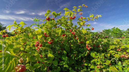 Foto  raspberry bush raspberries