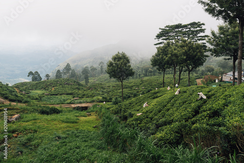Deurstickers Asia land people pick up green tea lives in the fog tea field