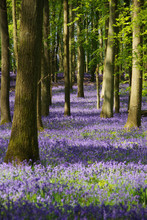 Bluebell Wood In UK