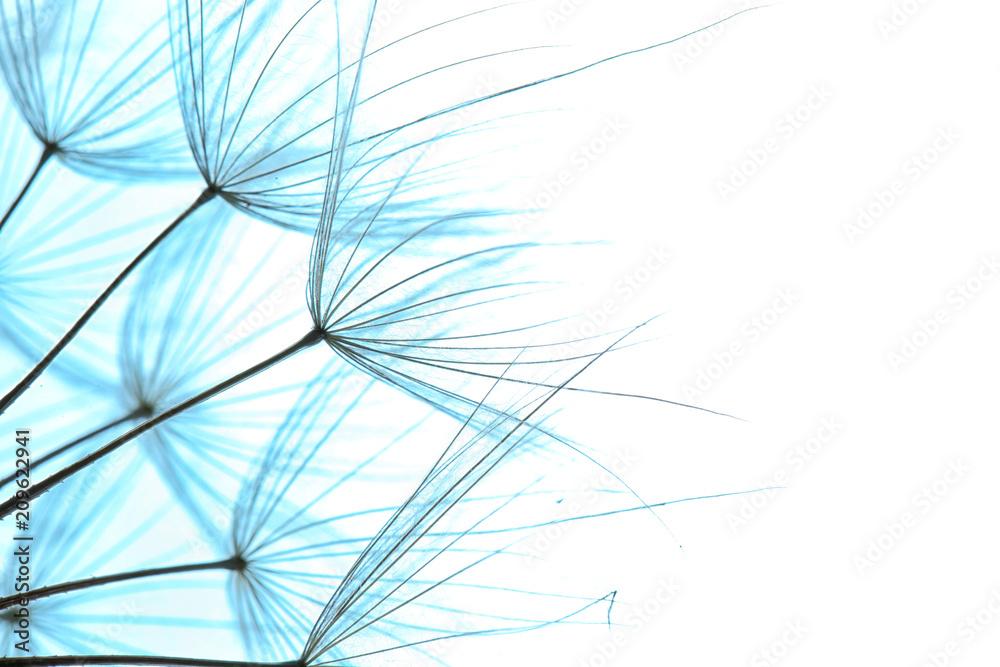 Fototapety, obrazy: Dandelion seeds on color background, close up