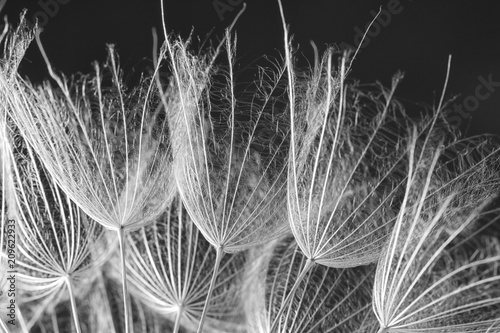Dandelion seeds on grey background, close up. Black and white effect