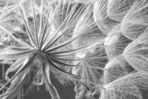 Dandelion seed head on grey background, close up. Black and white effect
