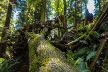 A Giant Fallen Tree With Roots Exposed And Covered With Green Mosses In The Forest.