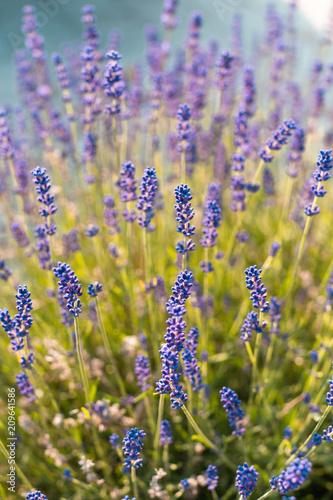 Poster Lavendel Lavande en gros plan au printemps