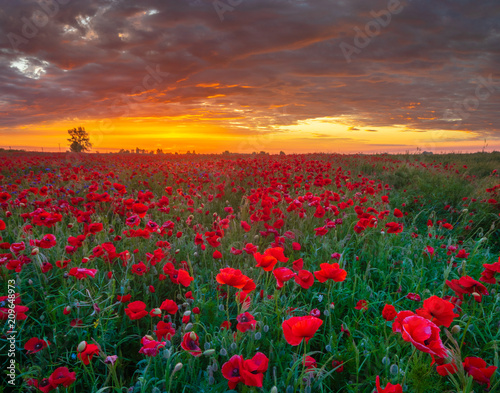 Canvas Prints Poppy beautiful, romantic sunset over a poppy meadow