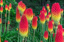 Red Hot Pokers Field At Les Makes In Saint Louis, Reunion Island