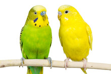 Wavy Parrots Sit Together On A...