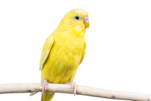 Wavy Parrot Budgerigar On Whit...