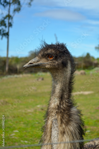Fotobehang Struisvogel Ostrich face, close up, on farm, south africa. Ostrich portrait