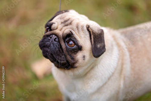 Fotografering  A Purebred Pug Dog Being Judged At A Country Show