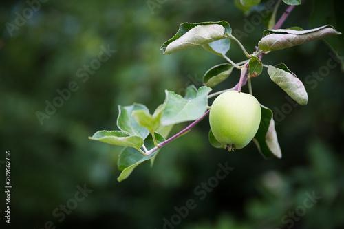 Fototapeta jabłko na drzewie obraz