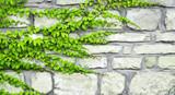 Fototapeta Kamienie - The green ivy curls on a stone wall