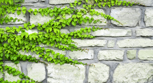 Fotografia The green ivy curls on a stone wall