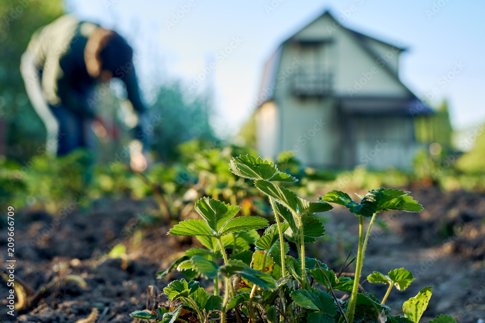 Fototapety, obrazy: Woman weeding the strawberry beds in the garden with a country house on the background