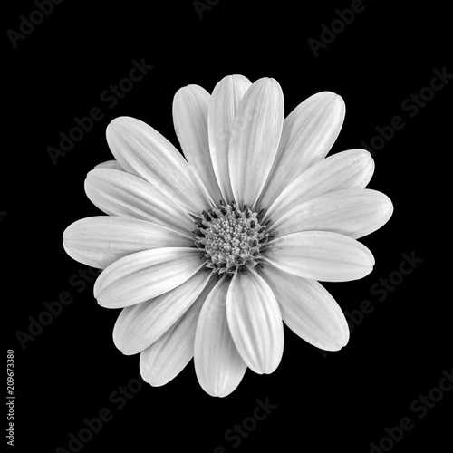 Foto op Canvas Madeliefjes Fine art still life flower monochrome macro image of a wide open blooming african cape daisy / marguerite blossom on black background