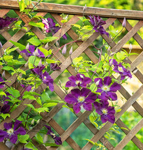 Nice Purple Clematis In The Garden
