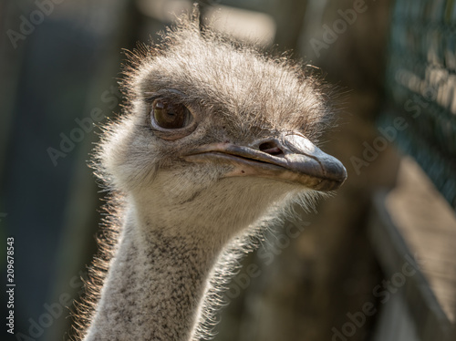 Spoed Foto op Canvas Struisvogel Head of a female Common Ostrich, Struthio camelus, close up. Backlit.